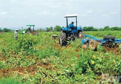 Eliminan cultivos hospederos de la mosca blanca en Montecristi